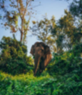 meeting Asian elephant in the wild