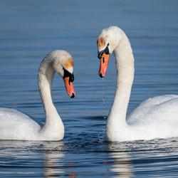 Swan Courtship by John Draper_