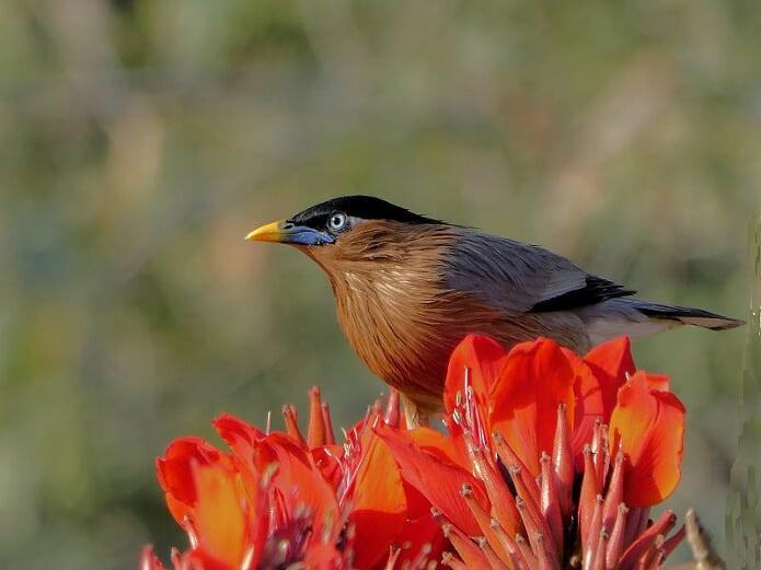 INDIAN MYNAH BIRD by Rod Giddins 1[1]