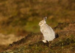 Mountain Hare (Lepus Timidus) Looking Ou