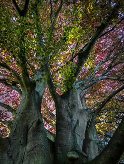 Beeches in spring by steve lee.