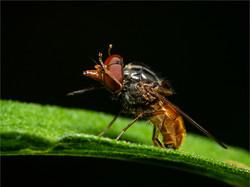 Rhyngia Species Hoverfly by John Draper_