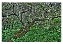 Oak at Reinhardt
