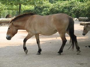 Clonan en EEUU un caballo que murió hace 20 años