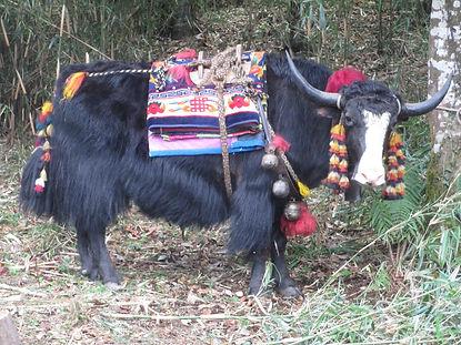 Bhutan decorated yak.JPG