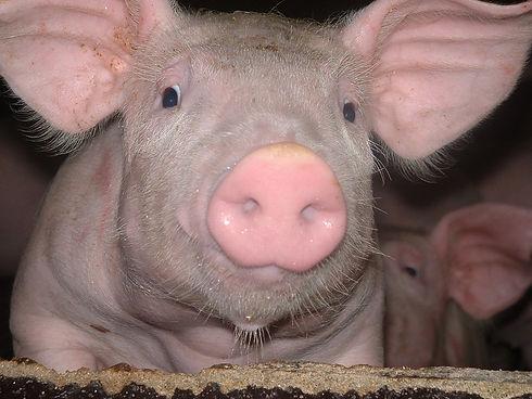 Ferme-porc.JPG