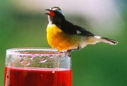 Anguilla Yellow Bird
