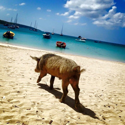 Just a pig on the beach
