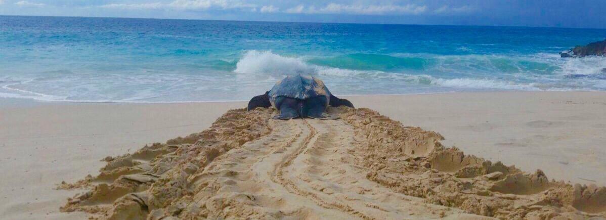 Leatherback Turtle on Limestone