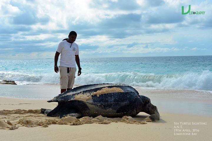 Leatherback turtle on Limestone Bay