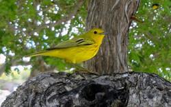 Anguilla Yellow Bird 2