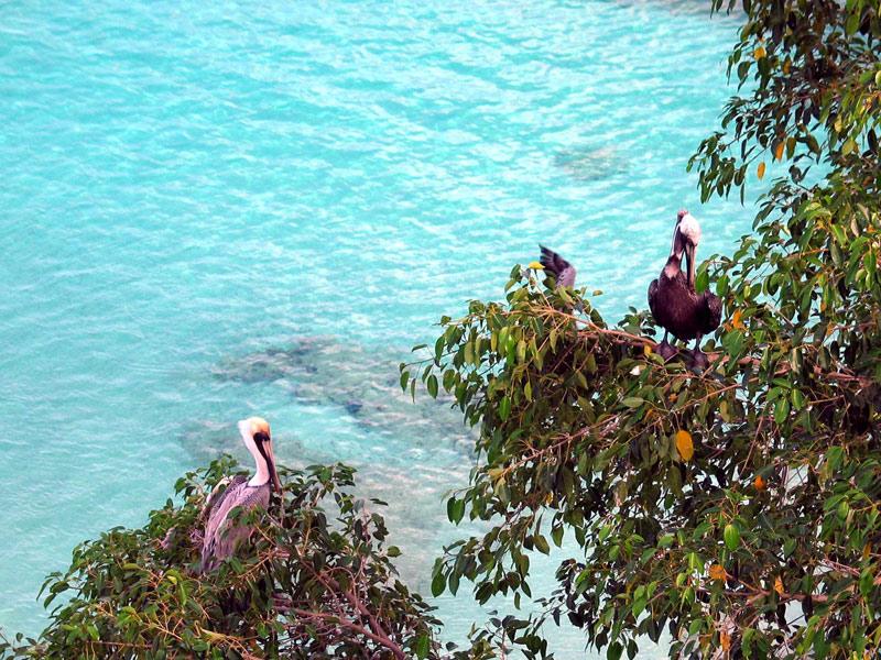 Anguilla Pink Bird