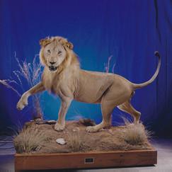 Full Body Lion Mount on Scenic Environment