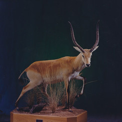 Fully Body Red Lechwe Mount on Scenic Environment