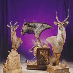 Various Busts - Wildebeest & Red Hartebeest