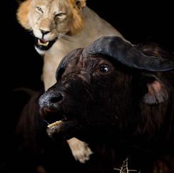 Lion & Cape Buffalo Mount