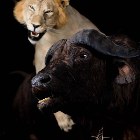 Lion & Cape Buffalo