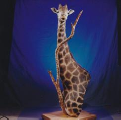 Giraffe Sholder Mount