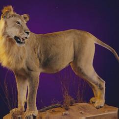 Full Body Lion Mount