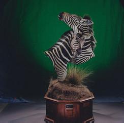 Double Zebra Bust on Scenic Environment