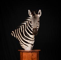 Zebra Shoulder Mount