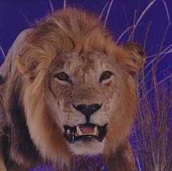 Lion Shoulder Mount on Scenic Environment