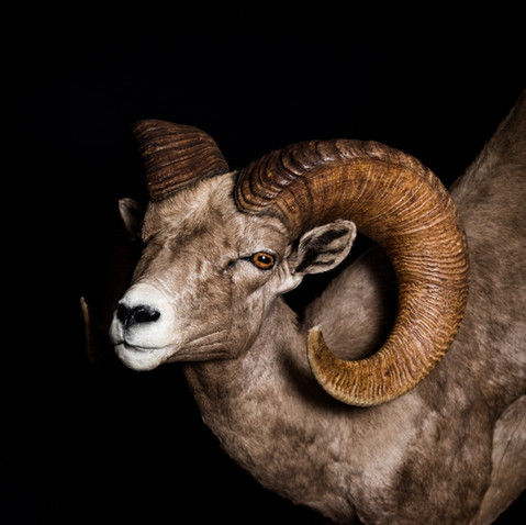 Big Horned Sheep