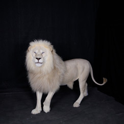 Full Body White Lion Mount