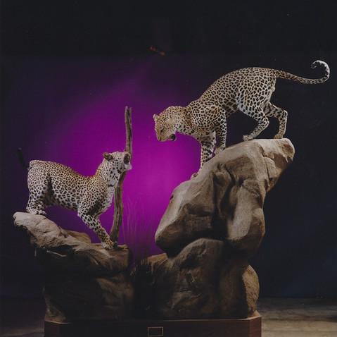 Dual Leopards