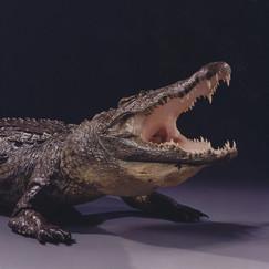 Crocodile Shoulder Mount