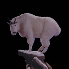 mountain goat 1*.jpg