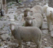 sheep anddog.jpeg