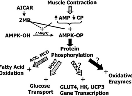 AMPK, GLUT-4: effetti dell'alimentazione e dell'allenamento