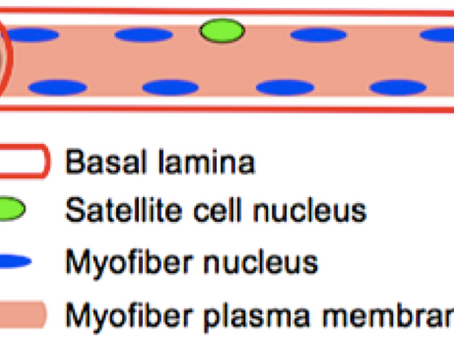 Cellule satelliti: alleati fondamentali per allenamento e rieducazione