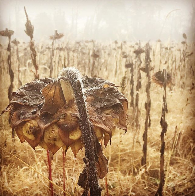 This field of dead sunflowers might be o
