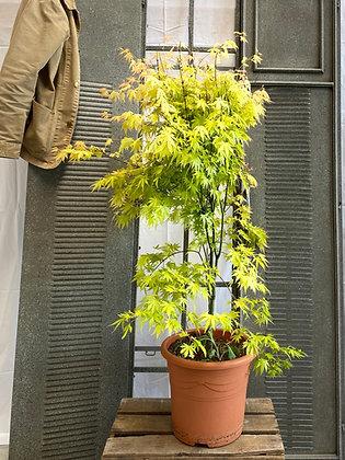 Erable japonica jaune