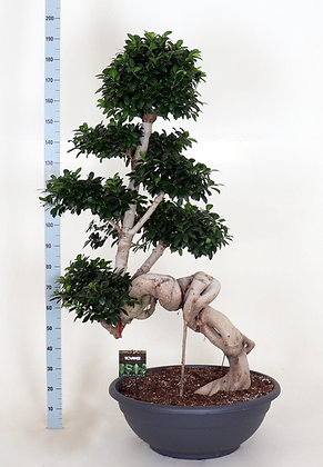 Ficus microcarpa Dragon XL
