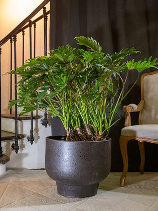 Philodendron Xanadu avec troncs