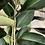 Thumbnail: Ficus Robusta XL