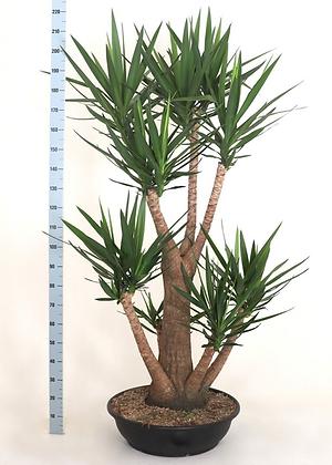 Yucca elephantipes vertakt XL