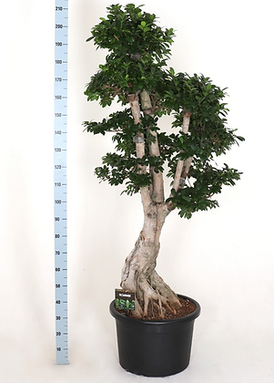 Ficus microcorpa Kunstof XL