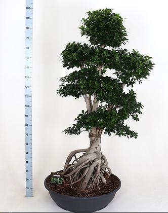Ficus microcarpa Ginseng XL