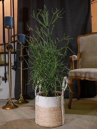 Euphorbia tivagolli
