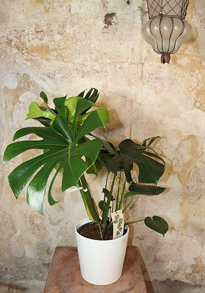 Monstera pertusum