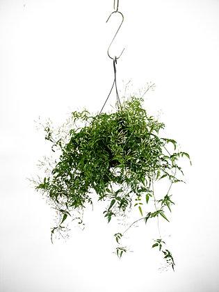 Jasmin Polianthus