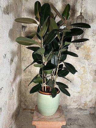 Ficus Robusta XL