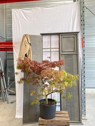 Acer Palmatum, Erable du Japon