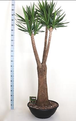 Yucca elephantipes Stam Vertakt