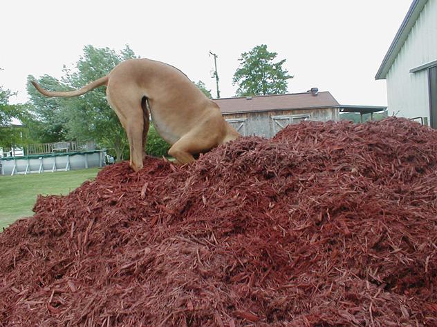 Kobe plays ostrich in mulch.jpg