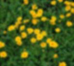 coreopsis nana.jpg